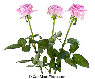 drei, rosa, rosa, freigestellt, weiß