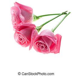 drei, rosafarbene rosen, freigestellt, weiß