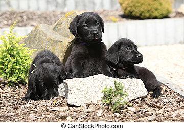 drei, schwärzen labrador, apportierhund, hundebabys