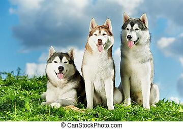 drei, sibirischer schlittenhund, hund, auf, gras