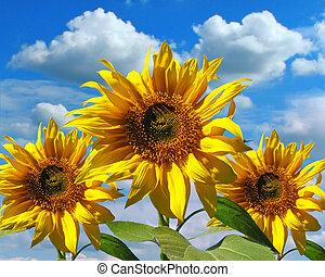 drei, sonnenblumen