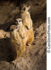 drei, suricates, oder, meerkats