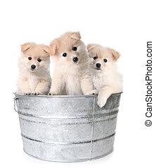 drei, weißes, bezaubernd, hundebabys, in, a, washtub