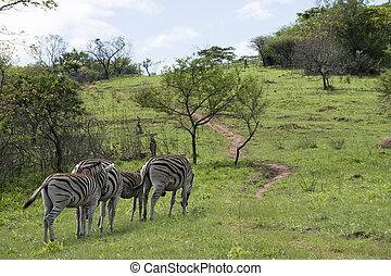 drei, zebras, und, fohlen, in, wiesen, von,...