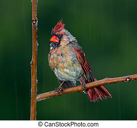 Drenched cardinal