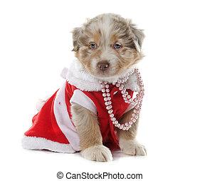 dressed puppy australian shepherd