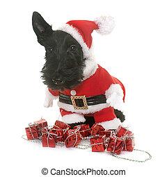 dressed puppy scottish terrier