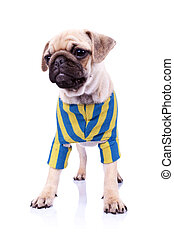 dressed standing pug puppy dog looking to a side - standing ...
