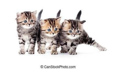 drie, katjes, gestreepte , tabby, vrijstaand