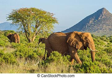 drie, olifanten, in, de, savanne, van, samburu