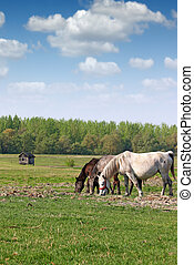 drie, paarden, in, de, akker, welen seizoen op