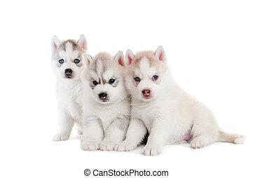 drie, siberian husky, puppy, vrijstaand
