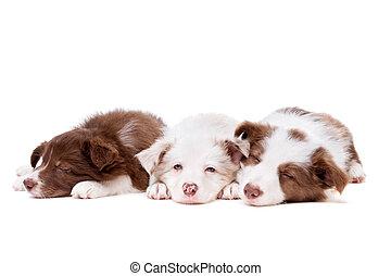 drie, slapende, collie van de grens, hondjes, in een rij