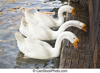 drie, wite goose