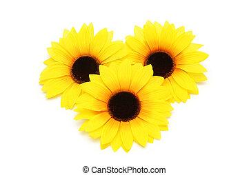 drie, zonnebloemen, vrijstaand, op, de, witte achtergrond