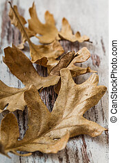 Dried Acorn Leaves - Dried acorn leaves on white wooden...
