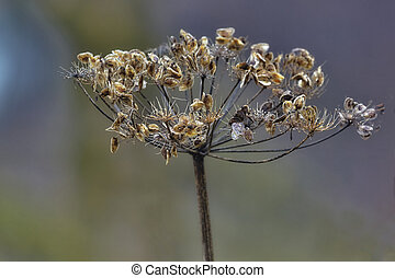 Dried bloom with open seed buds are autumn memory of summer