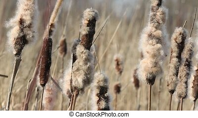Dried Cattail - Cattail with fluff closeup