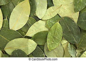 Dried coca (lat. Erythroxylum coca) leaves as background. In...