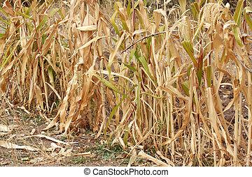 dried corn field - nature image