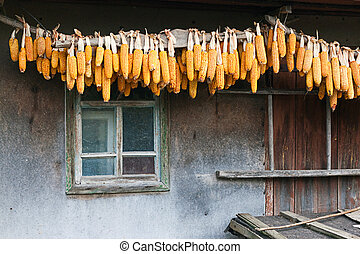 Dried corn, hanging under the roof of the shed