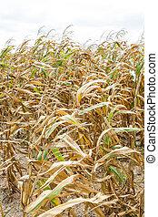Dried corn in field