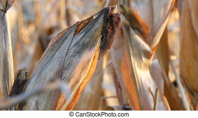 Dried corn on the field. Ripe corn growing on the stalk in...