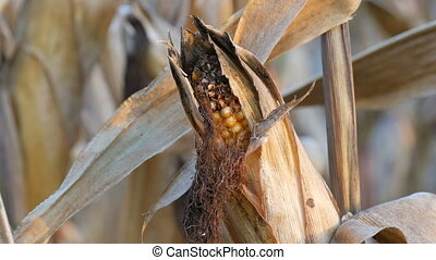 Dried corn on the field. Yellow ripe corn growing on the...