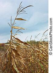 Dried corn stalk in cold autumn wind