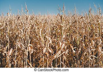 Dried corn stalks in a corn field