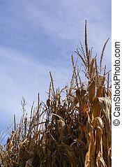 Dried corn stalks in Fall over blue sky in farm