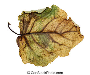 dried crumpled leaves of poplar