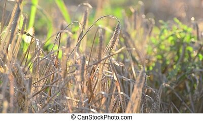 Dried ears of rye in the field at sunset