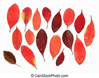 dried fall leaves of plants barberry, rosehip, isolated elements on white  background for scrapbook, object, roughage autumn leaf