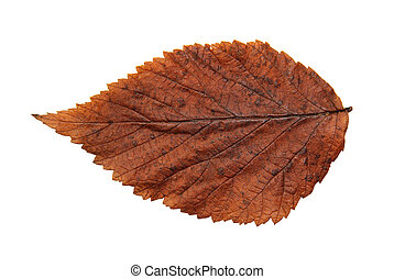 dried fall leaves of plants, isolated elements on white  background for scrapbook, object, roughage autumn leaf.