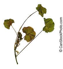 Dried flower of Malva rotundifolia