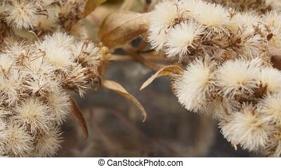 Dried flowers close up. Dried plant. Slow motion.