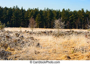 Dried golden grass in front of a green forest