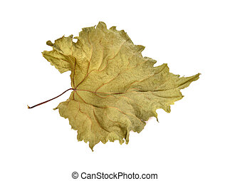 Dried grape leaves isolated on white background