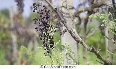 Grapes that grow on plants have dried up in the summer