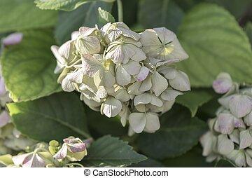 dried hydrangea in bloom