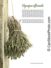 Dried hyssop hanging from a rope with copy space