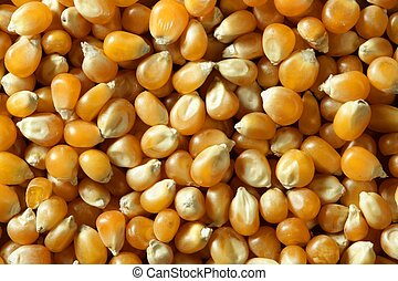 Dried macro corn seeds in orange color, as a texture...