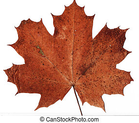 dried maple leaf background