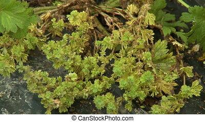 Dried Marchantiophyta Plant - Steady, medium close up shot...