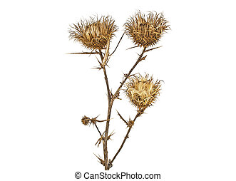 Dried milk thistle on a white background, close up