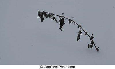 dried nettle swings in the wind in the winter.