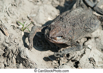 dried out toad