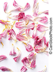 dried petals tulips lay on a white