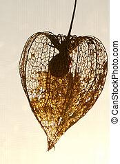 Dried Physalis lantern